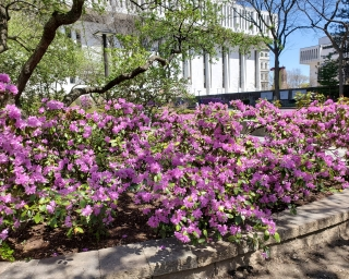 Purple flowers on shrubs at the Empire State Plaza.